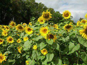 Sunflower maze at Braehead Farm