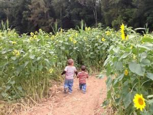 Sunflower walk